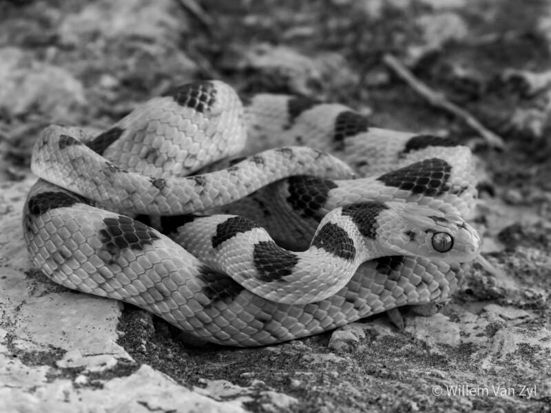 20210211 Tiger Snake (Telescopus beetzii) from Vanrhynsdorp, Western Cape