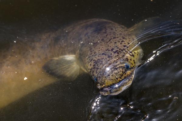 Anguilla reinhardtii - Speckled longfin eel
