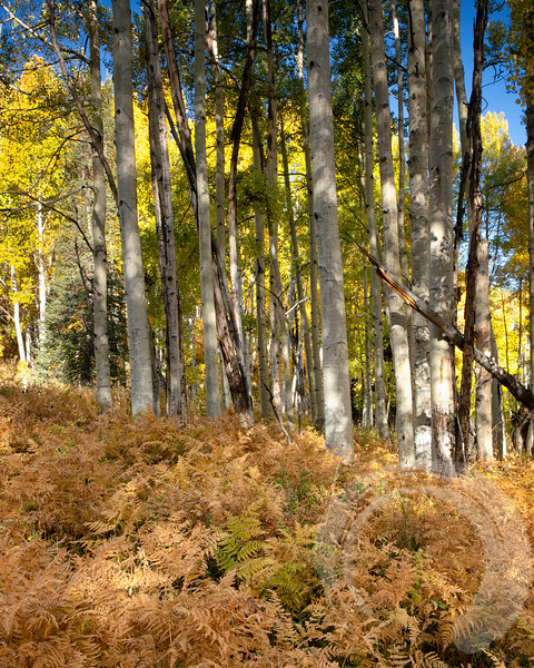 Kebler Pass Ferns and Aspen