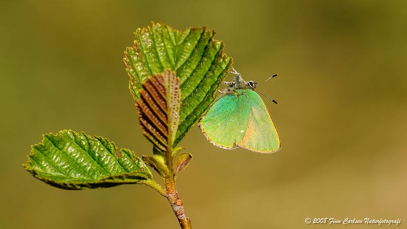 Grøn busksommerfugl (Callophrys rubi - Green Hairstreak)