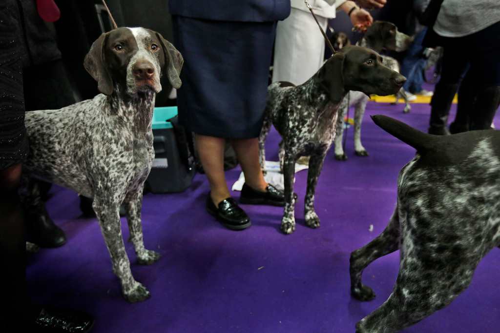 . German shorthaired pointers wait to enter the ring during the 142nd Westminster Kennel Club Dog Show in New York, Tuesday, Feb. 13, 2018. (AP Photo/Seth Wenig)