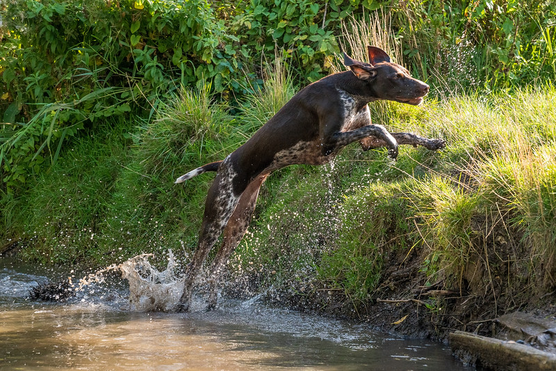 German Shorthaired Pointer launching out of the water, taken in Hampshire, UK by MIL Pet Photography. Copyright is Millers Image Limited. Dog Photographer is Chris Miller.