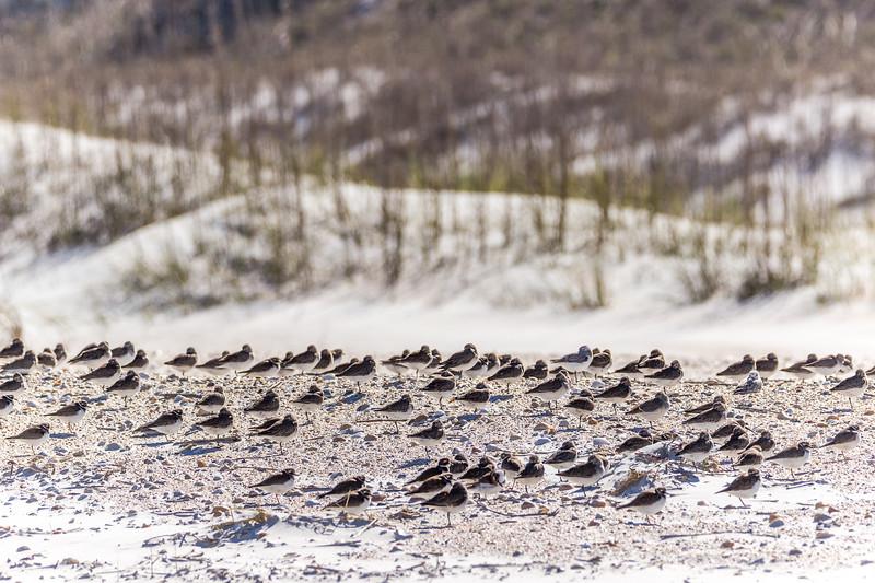 Shorebirds at Anastasia State Park
