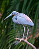 Color Me Blue: Tri-colored Heron at the Alligator Farm #1 04/14