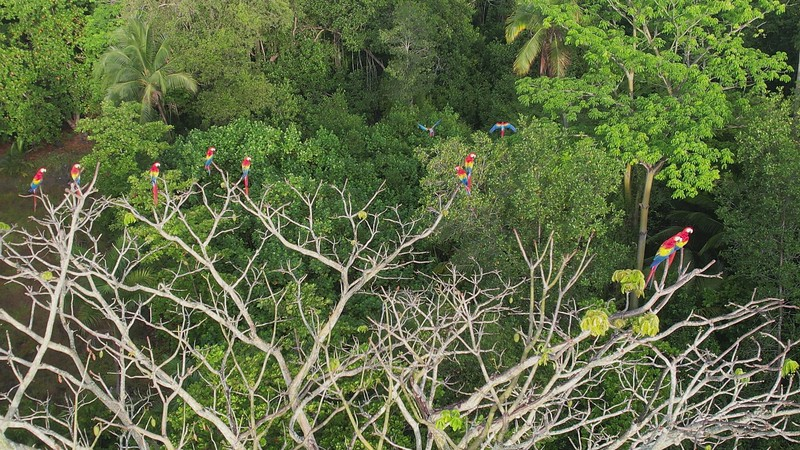 Scartlet Macaws - Red Lapas - Guacamayas on a tree in Costa Rica