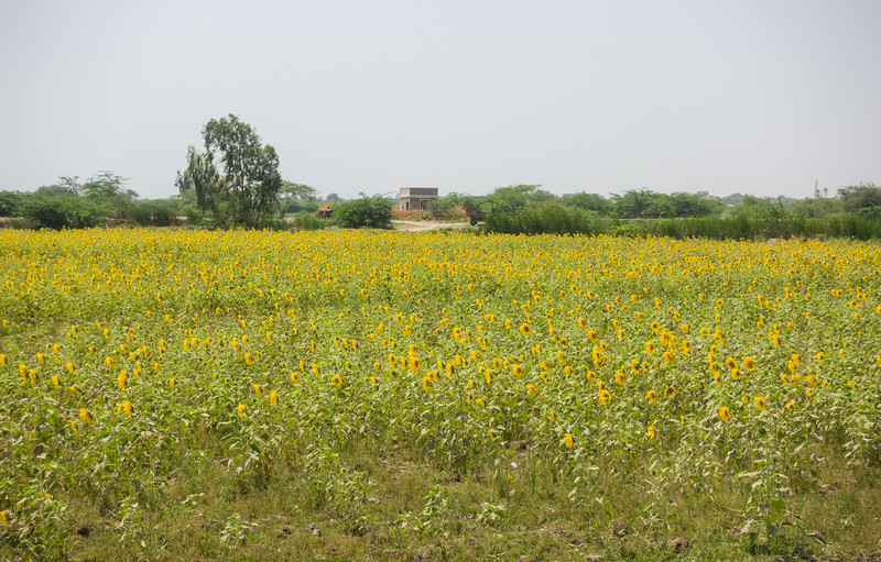 Sunflower field in Thatta.
