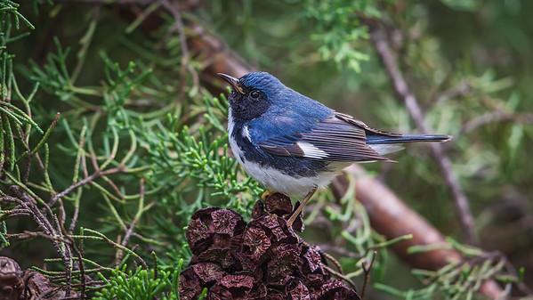 Blackthroated Blue Warbler