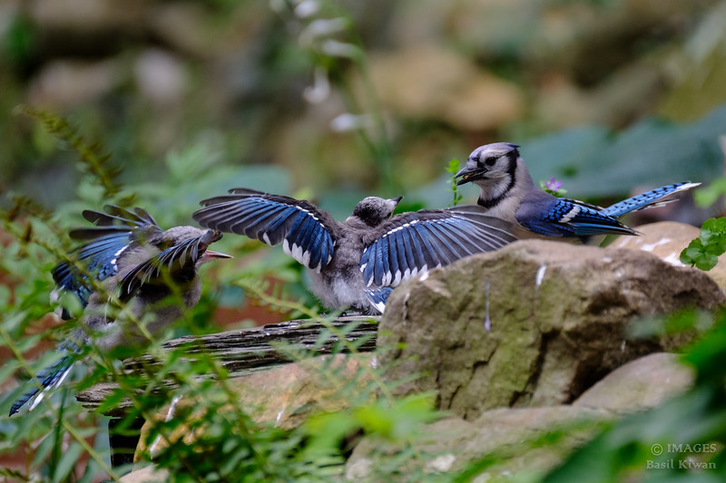 Mealtime with the Blue Jay Family