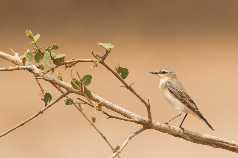 Northern Wheatear - Female - Lake Manyara National Park, Tanzania