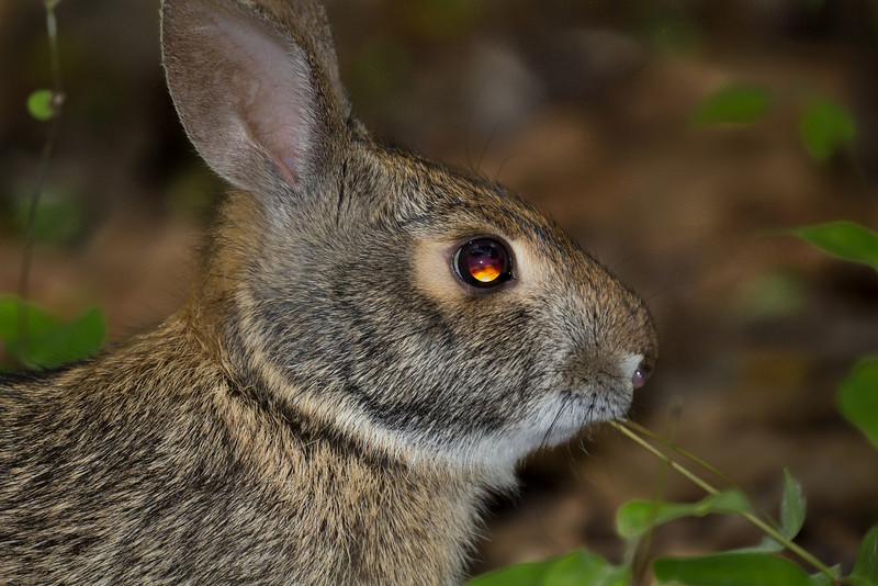 The bold rabbit that violated the Rat Snake's comfort zone. It lingered close until the snake made a warning strike.