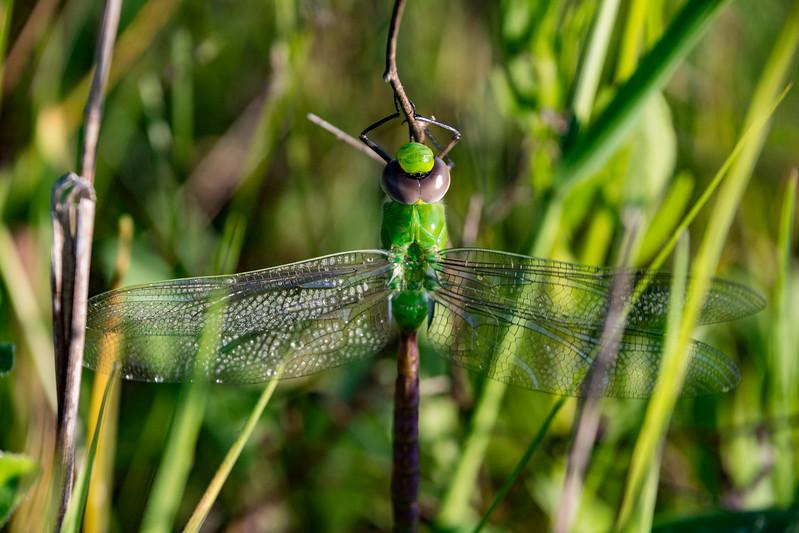 green-darner-dragonfly-ohio-dew-wings.jpg