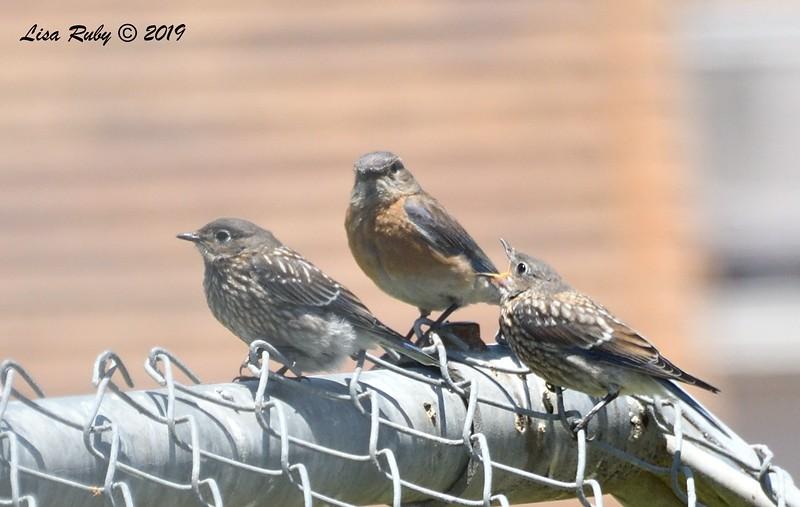 Western Bluebird mom and 2 juveniles - 6/15/2019 - Creekside Elementary School Sabre Springs
