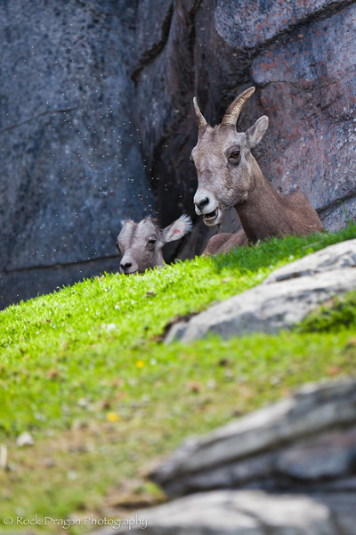 A Big Horn Sheep with it's kid at the Calgary Zoo.