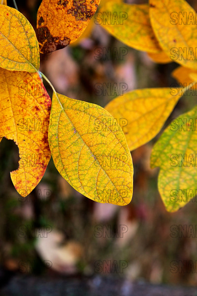 Sassafras Leaves (Sassafras albidum).  Sassafras trees have polymorphic leaves, which means they have three clearly different leaves.  This photo features a Single Leaf.