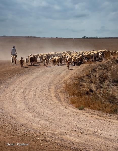 רועה וכבשים לאורך.jpg