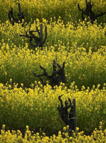 'Sonoma Vineyard' - California, USA
