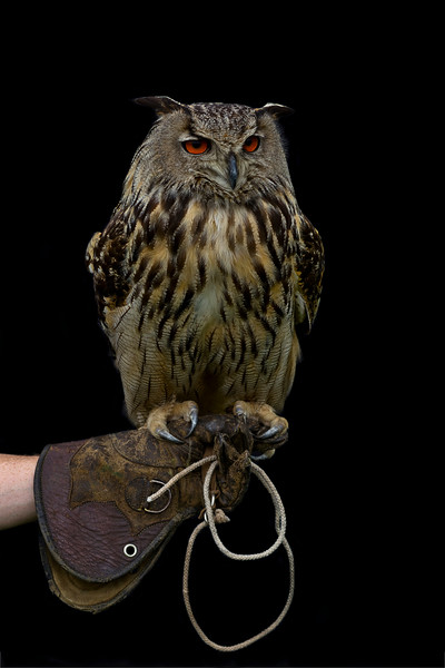 Eagle Owl .jpeg