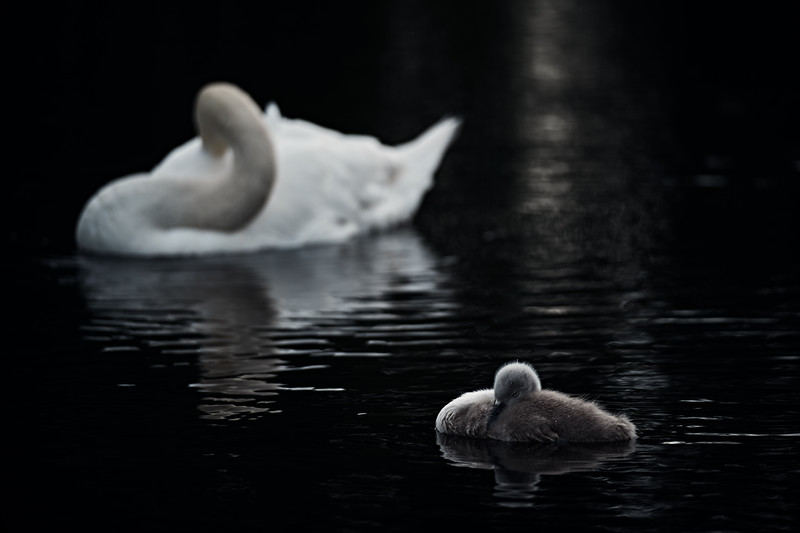 Swans_Of_Castletown008.jpg