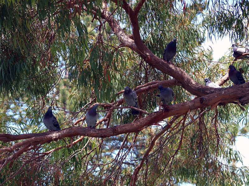 Pigeons in tree, Martinez waterfront