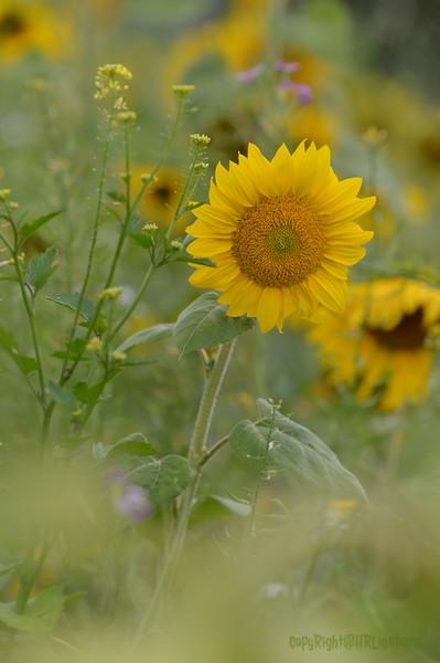 Sunflower Lonay_20092020 (61).JPG