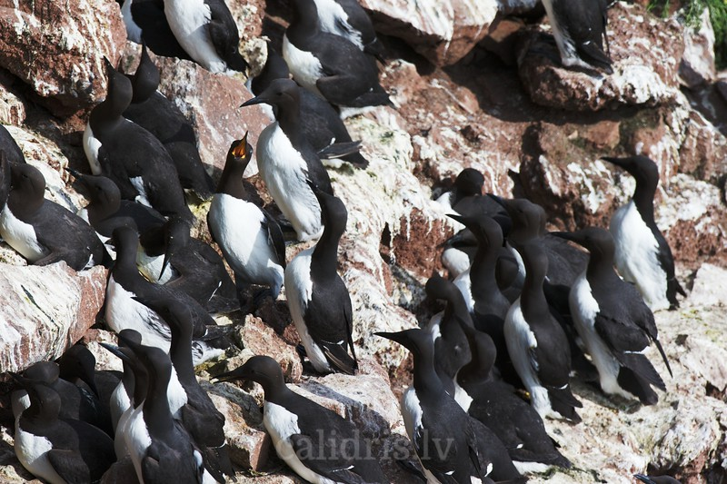 A colony of common guillemots on Látrabjarg