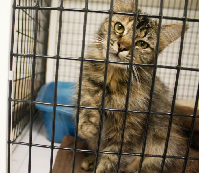 Cats and kittens July 6, 2017 at the Northwest SPCA in Oroville, California.  (Emily Bertolino -- Mercury Register)
