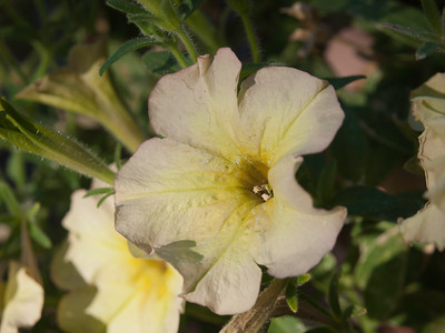 Petunia (veg-spreading) - Suncatcher Pink Lemonade