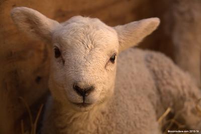 Sheep - Set 7