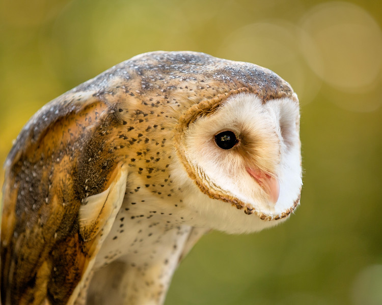 "Barn Owl  ""Hob Goblin""  Male"