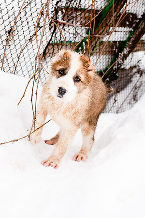 central-asian-puppies_25-02-2012