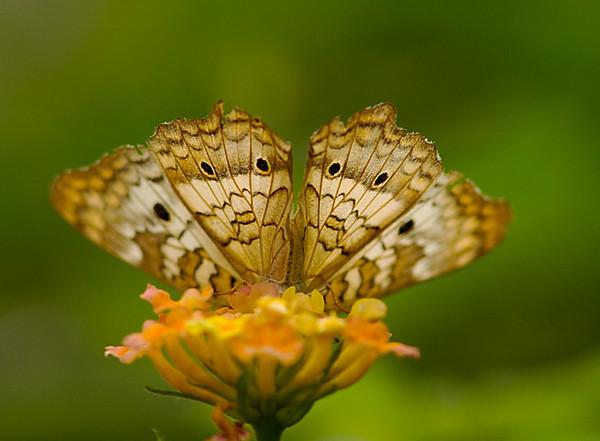 butterflies_BZ_Sept10_08.jpg