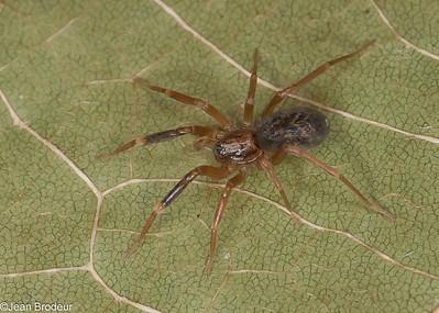 Les Familles; Cybaeidae, Corinnidae,Hahniidae, Liocranidae, Nesticidae,Theridiosomatidae,