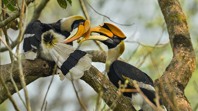 Great-Hornbill-male-female-courtship-Kaziranga-2.jpg