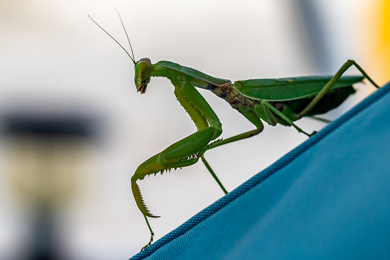 The European Mantis, or Mantis religiosa
