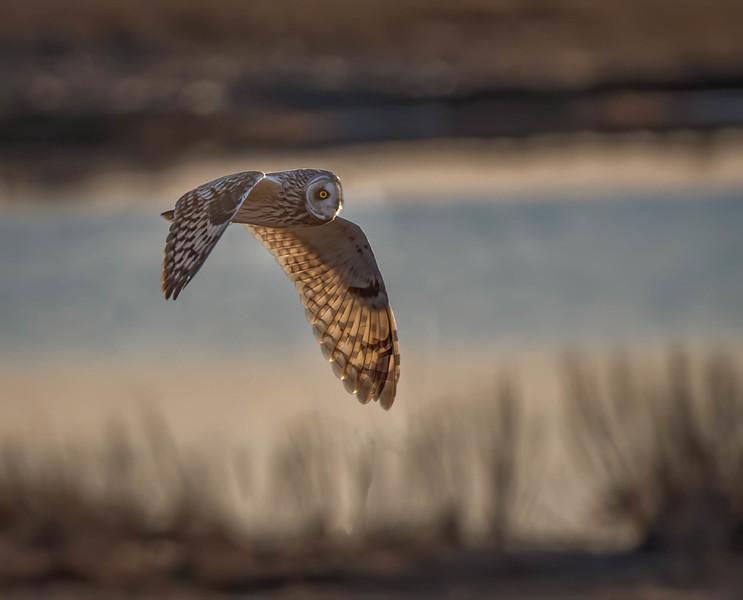 _5006143-Edit Short-eared Owl fly by wing lit.jpg