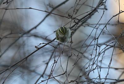 Hippiäisuunilintu (Phylloscopus proregulus)
