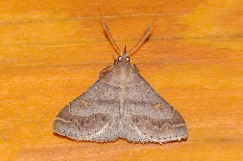 Renia-Yellow-spotted-(Renia flavipunctalis)- Dunning Lake - Itasca County, MN