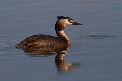 Great Crested Grebe (Somormujo lavanco)