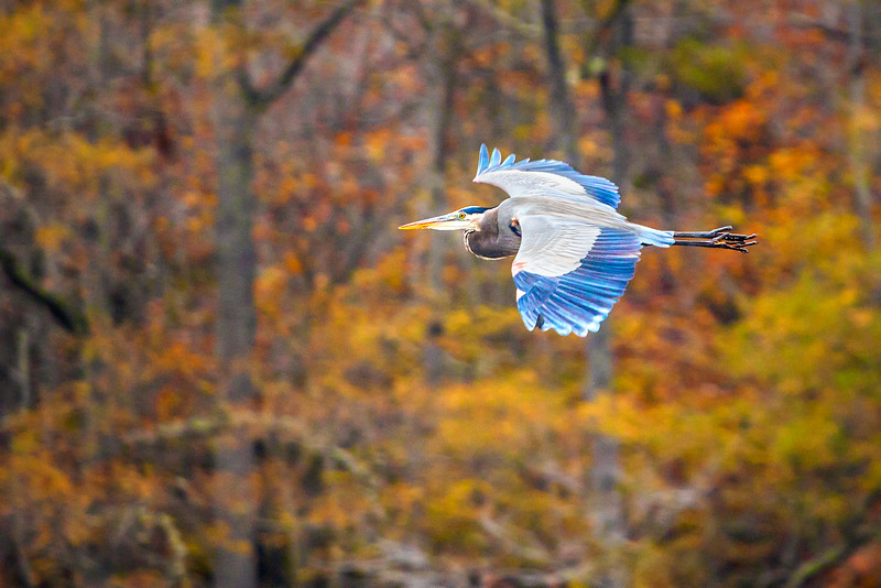 Autumn Blue Heron