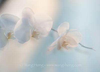 Orchids 兰