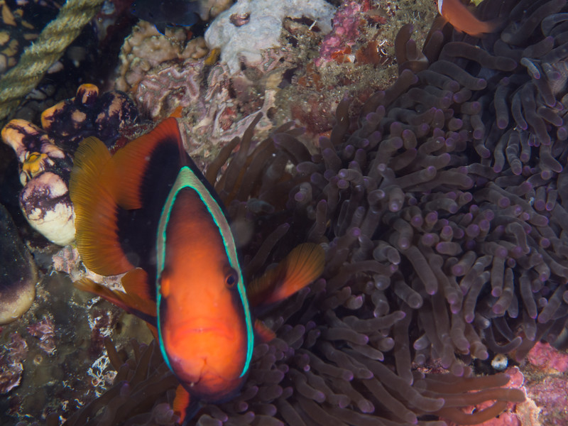 AnenomeFish1.jpg