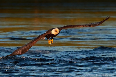 Bald Eagle with Hake #1