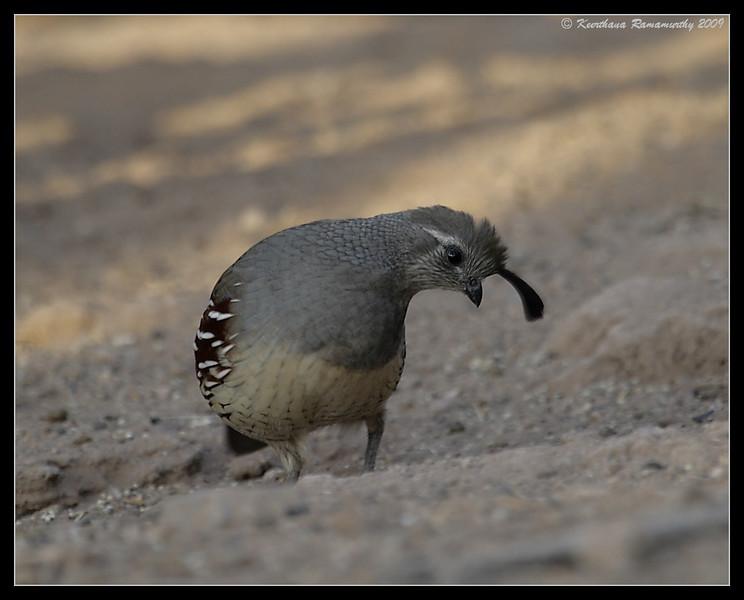 Gambel's Quail Female, Salton Sea, Imperial County, California, November 2009
