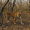 Tiger in the  dry deciduous forest of Ranthambore tiger reserve at sunrise