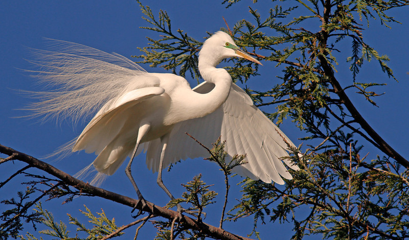 egretbridebranch1600.jpg