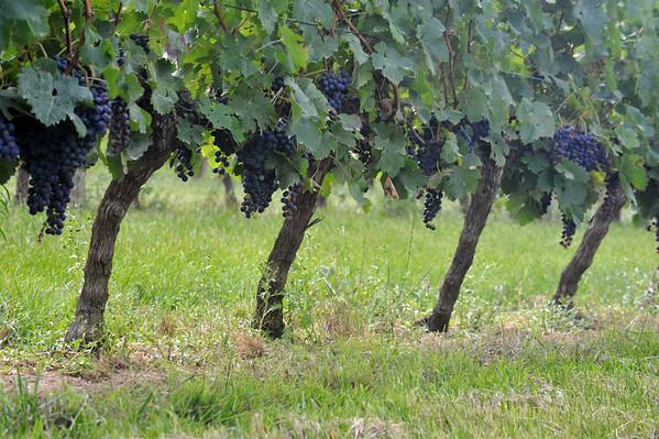 Vignes bordelaises (33)