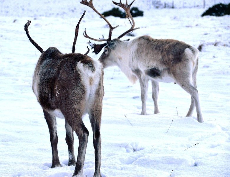 How to visit Scotland's Wild Reindeer