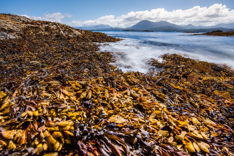 Bladder rockweed (Fucus vesiculosus), Vancouver Island