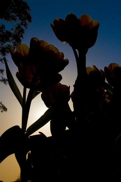 Tulips outdoor_01.jpg