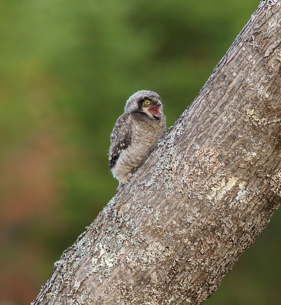 Northern Hawk Owl baby juvenile Owl Ave Sax-Zim Bog MN Northern Hawk Owl baby juvenile Owl Avenue Sax-Zim Bog MN IMG_1194.jpg